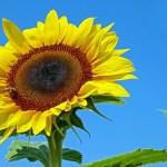 向日葵の花言葉