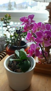 An easy orchid for beginners that rebloomed in the home