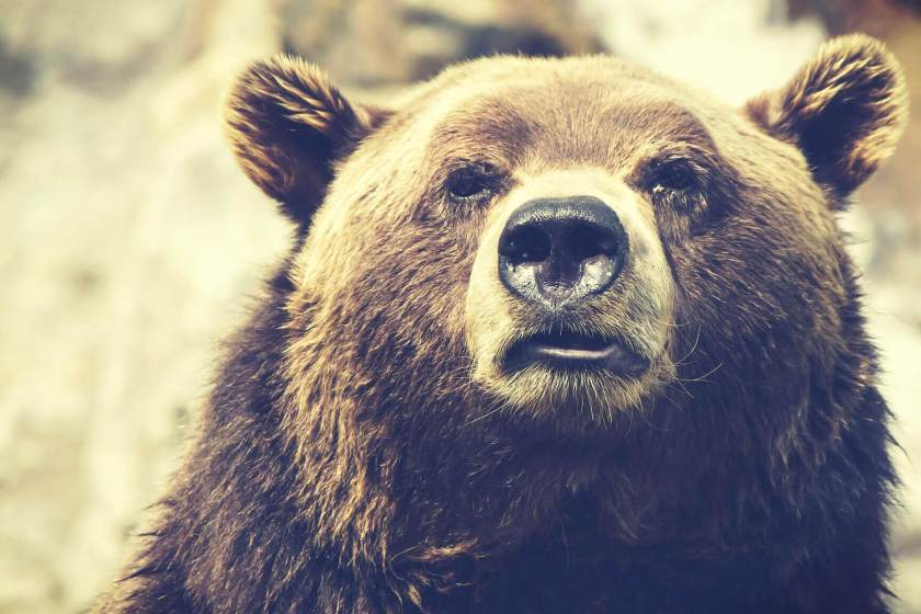 The face of a grizzly bear