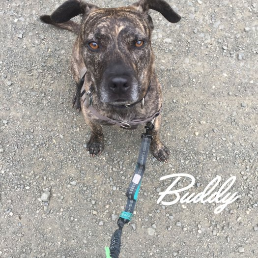 Buddy, the Mountain Cur mix