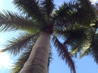 Del Rey Beach, Florida Palm