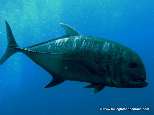 wicked diving review giant trevally taking to the open road peggy tee