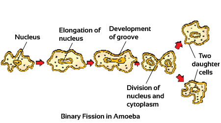 Class 10 Science Notes & NCERT Solutions-How do organisms reproduce, Asexual Reproduction