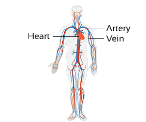 Class 3 Science-Organ Systems of Our Body-CBSE NCERT Solution for Class 3 circulatory-system
