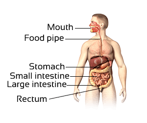 Class 3 Science-Organ Systems of Our Body-CBSE NCERT Solution for Class 3 digestive-system