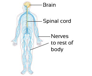 Class 3 Science-Organ Systems of Our Body-CBSE NCERT Solution for Class 3 nervous-system