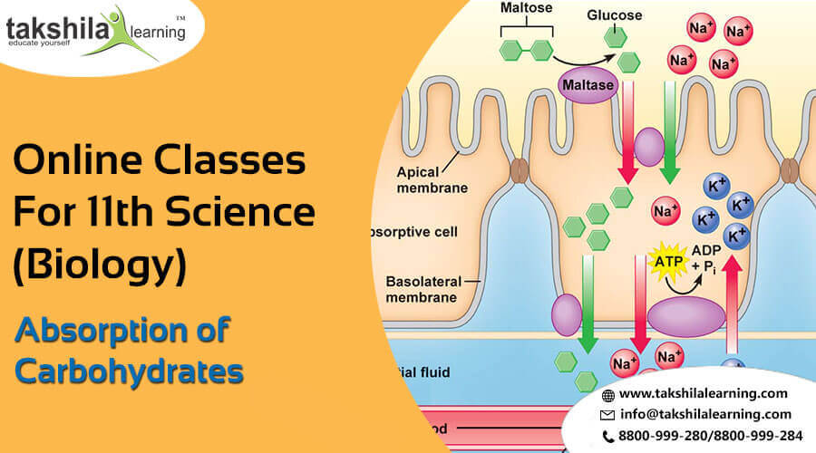 Absorption and Assimilation of Carbohydrates - biology class 11 online notes,11th science,biology class 11 notes