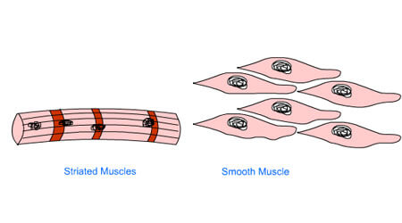 NCERT Solutions for Class 9 Science Animal Tissue & Muscular Tissue