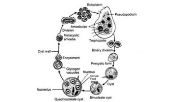 Class 12 Biology COMMON HUMAN DISEASES CAUSED BY PROTOZOA