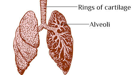 Life processes Chapter 1 - Human respiratory system for 10th Class Science