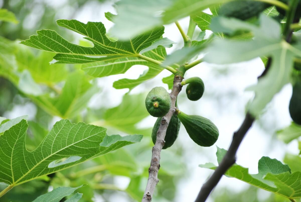 TAKUMI lifestyle - Maria Anna Esposito - Il primo albero coltivato dall'uomo - Il fico - 1