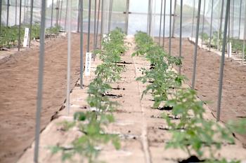 無事ミニトマトの定植が終了しました