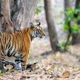 Mirchani tigress in bandhavgarh