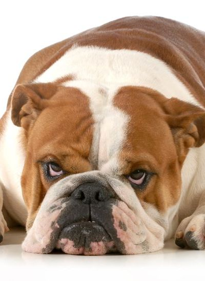 The Top 4 Myths about English Bulldogs