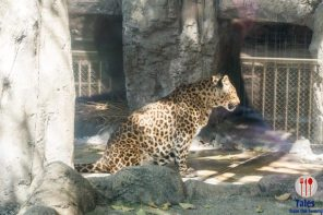 Tennoji Zoo Cheetah