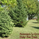Perennials to Grow Under Pine Trees