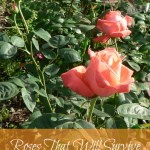 Roses That Will Survive in Colder Climates