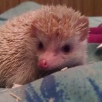 Our Baby Hedgehog update