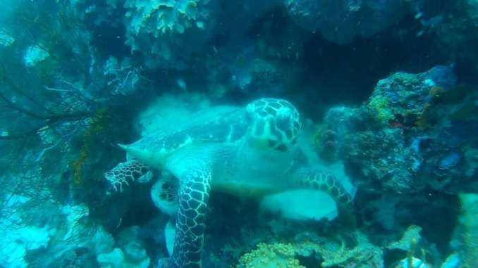 Turtle at menjangan island
