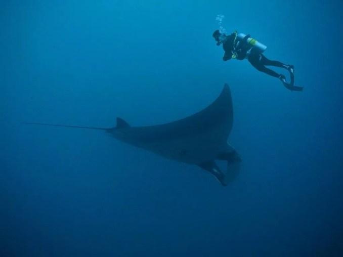 Manta ray in Bali