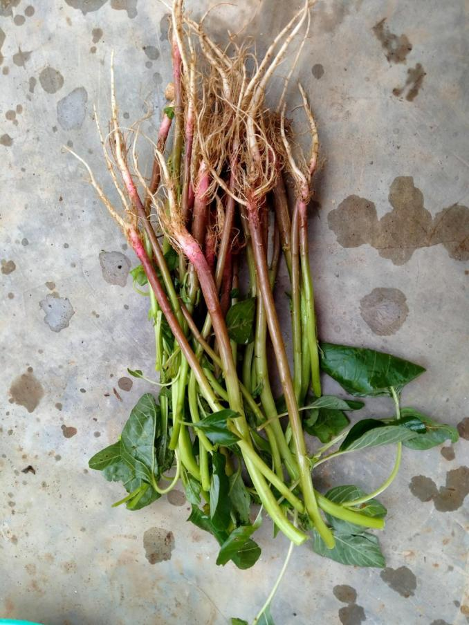 Indonesian Spinach vegetable to replant