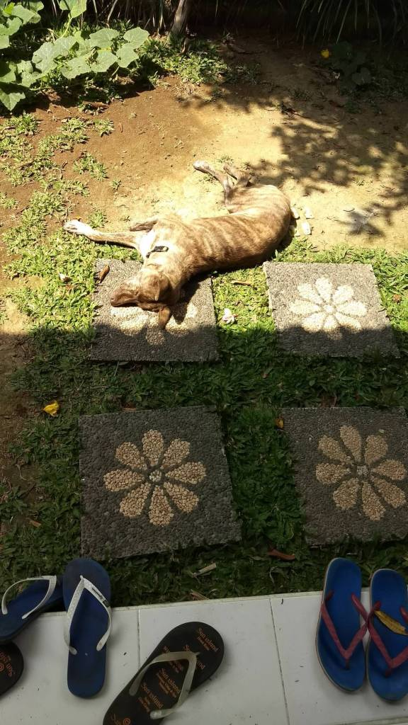 Bali dog sunbathing TaleTravels