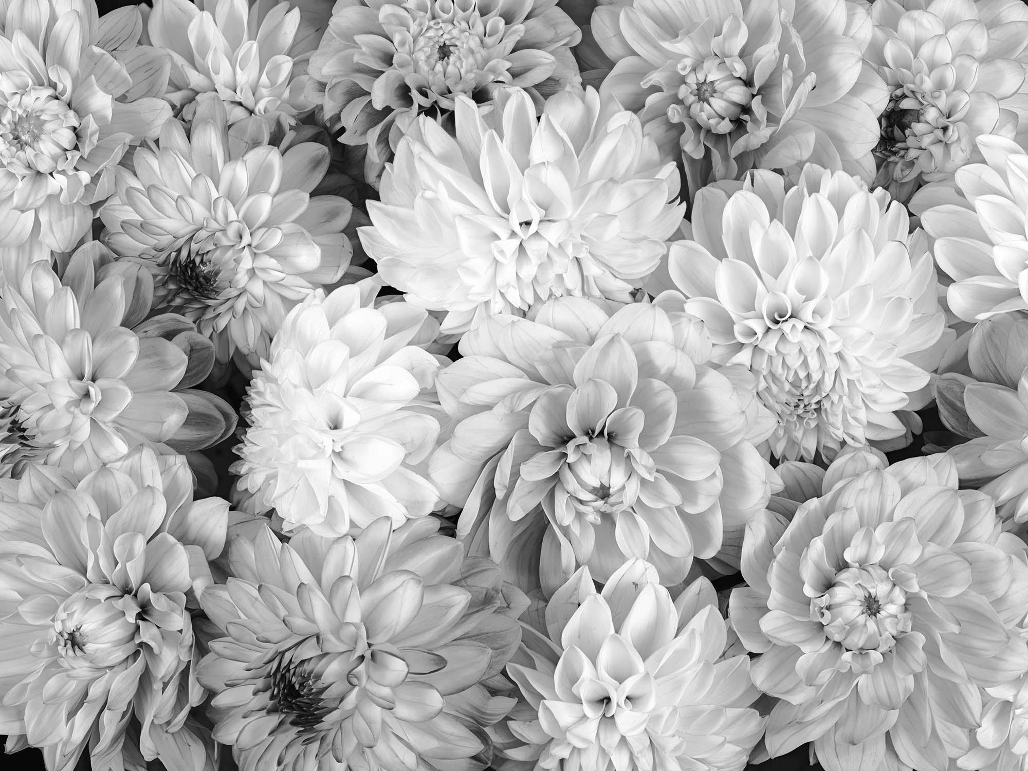mu1713 20 dahlia flowers