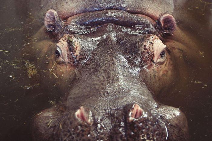 hippo-406889