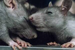 123ref-44288136 - a pair of rats