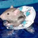 ratswimming