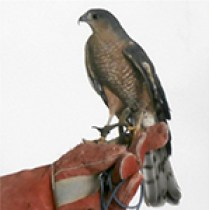 Sharpie - Sharp Shinned Hawk