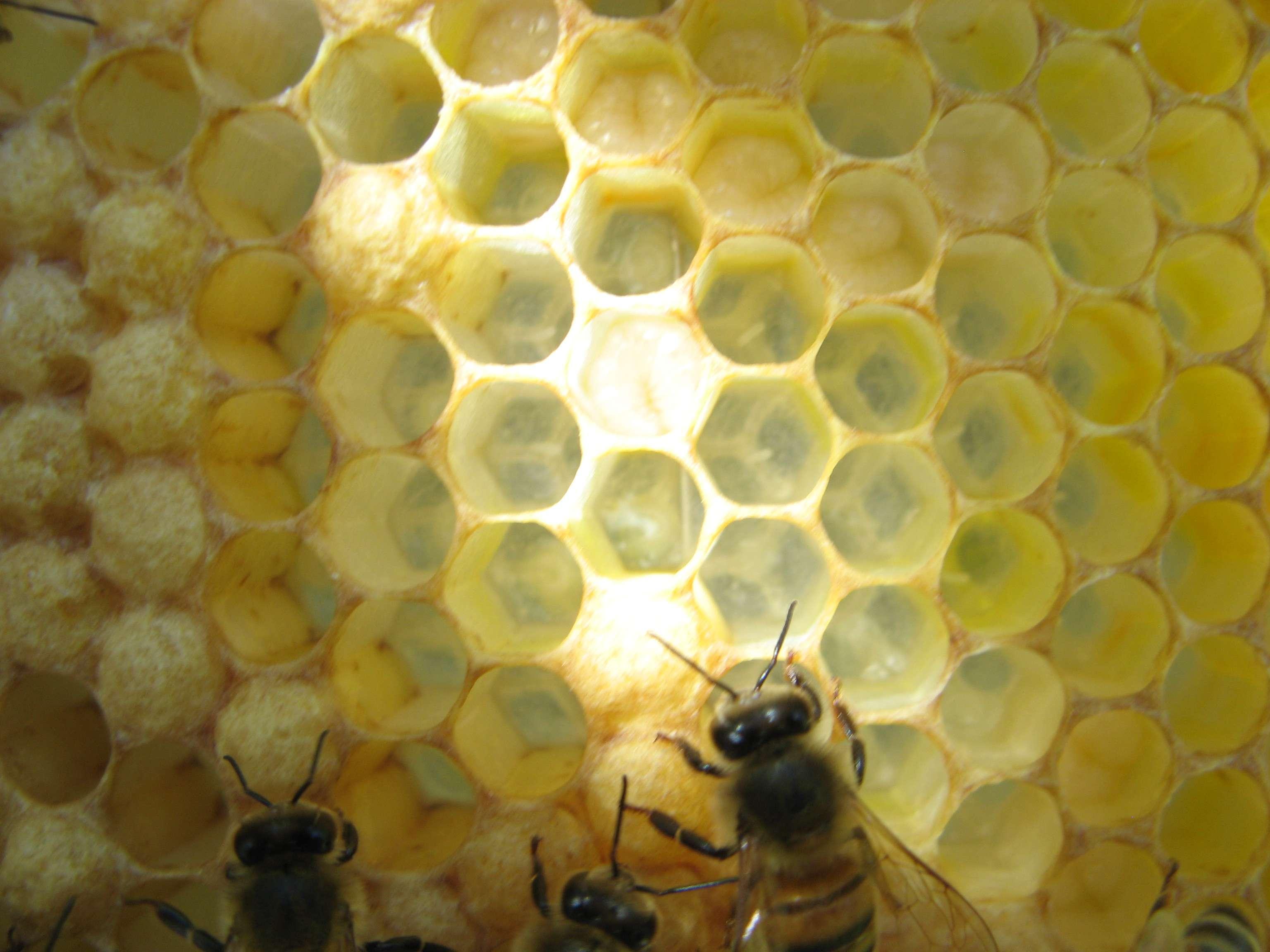 Honey Bee Queen Drone Worker