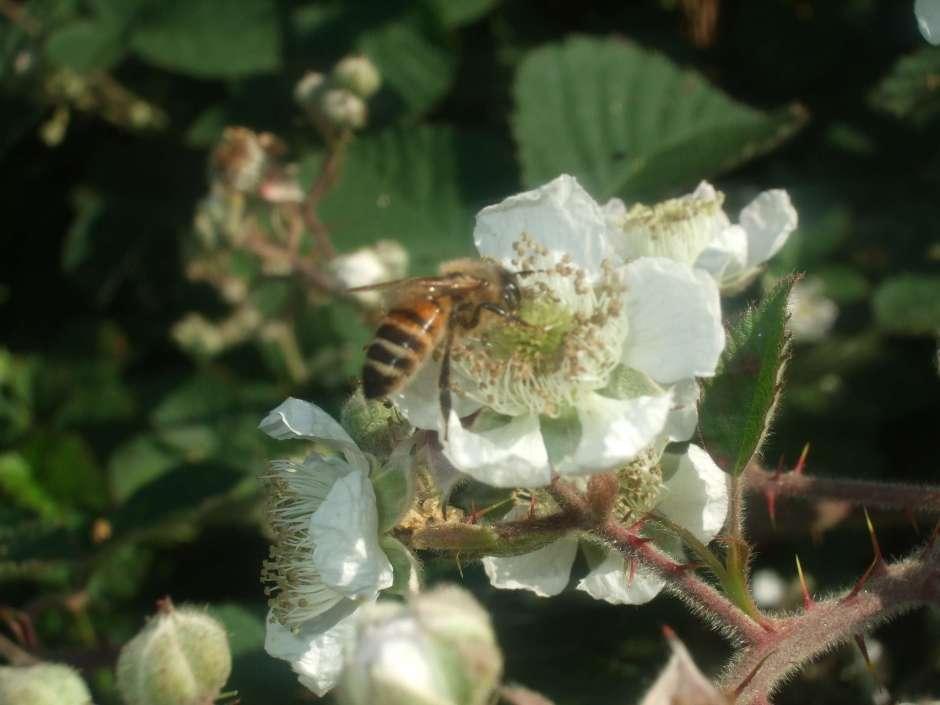 Honeybee On Blackberry Flower