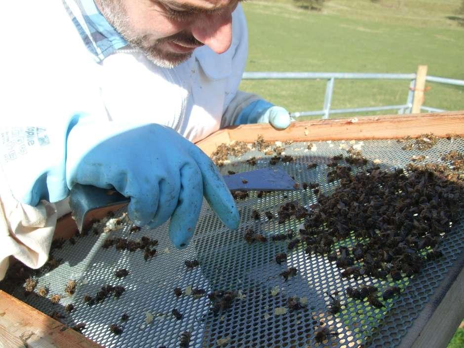 Beekeeper Inspecting Dead BeesBeekeeper Inspecting Dead Bees