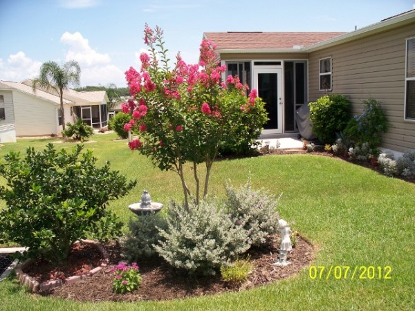 flowering of crepe myrtle trees