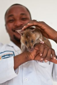 an APOPO heroRAT and its handler