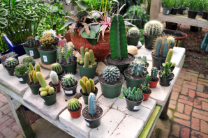 tallahassee-succulents-cactus