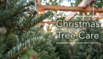 how to care for your fraser fir christmas tree