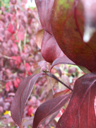 Cornus. Little Ruby Hybrid Dogwood