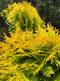 Thuja. Yellow Ribbon Arborvitae