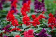 Annual Salvia