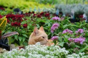 Tiger in Annuals