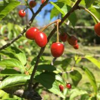Prunus. Taiwan Cherry 2018.03 (1)