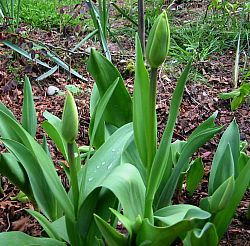 tulips buds before the deer find them