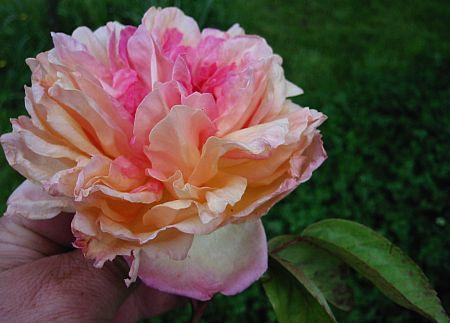 Souvenir de Madame Leonie Viennot Rose