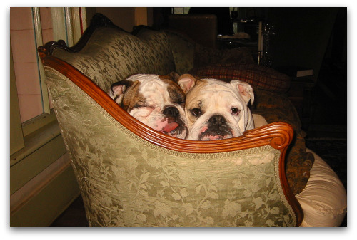 Boz and Gracie, snuggling bulldogs