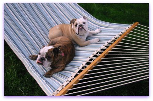 Boz and Gracie: bulldogs in a hammock