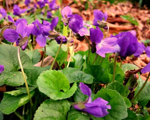 viola odorata sweet violet in bloom