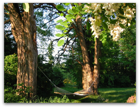 two black locust trees and a hammock