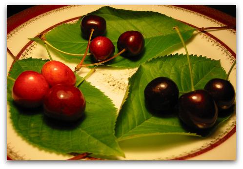 sweet cherries: Stella, Van, Rainier